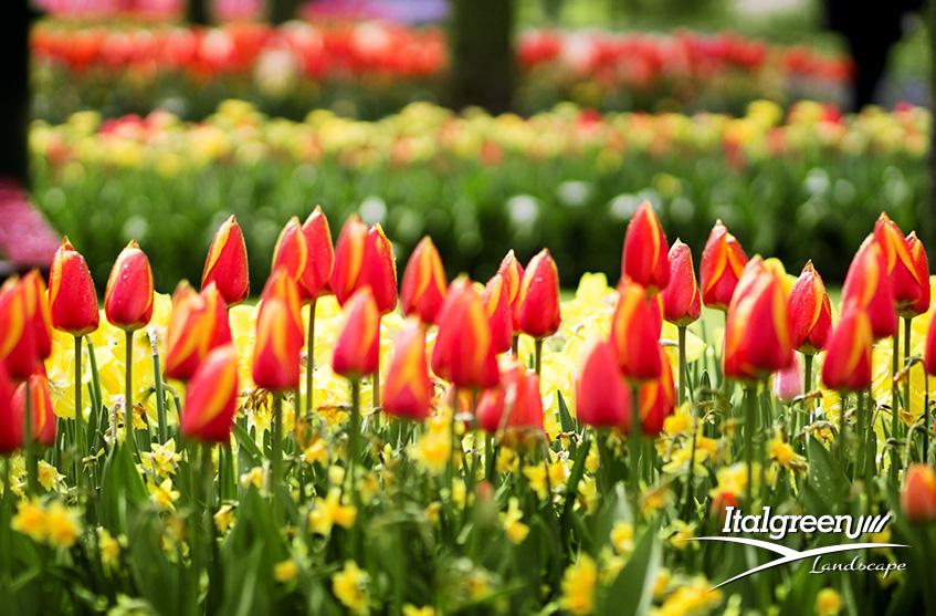 Primavera in fiore tulipani rossi