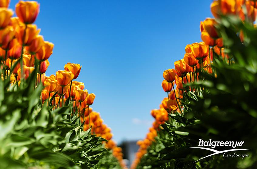 Primavera-in-fiore-tulipani