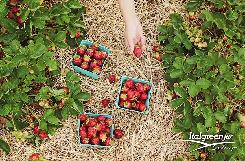 Come mantenere in salute il giardino a giugno fragole