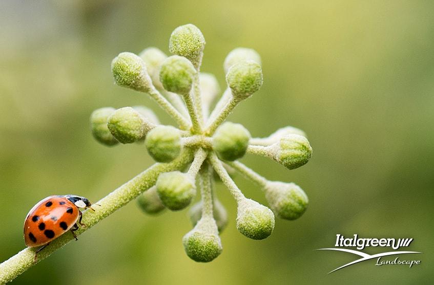 attirare gli insetti utili per il giardino coccinelle