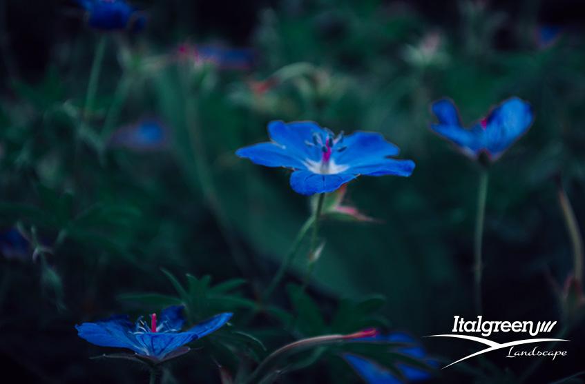 fiori blu per un giardino di tendenza Itagreen Landscape